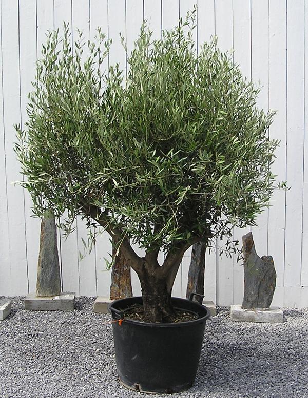 olivenbaum 230 cm olea europaea oliven stamm oliven baum. Black Bedroom Furniture Sets. Home Design Ideas