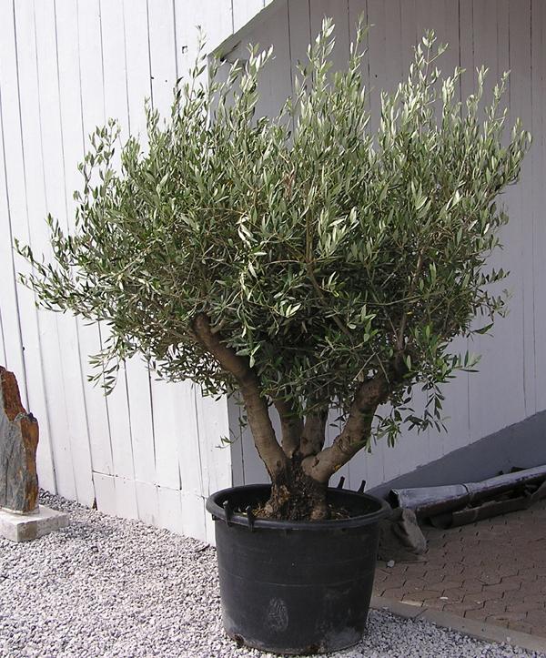 olivenbaum ca 230 cm olea europaea oliven stamm baum olive strauch garten deko ebay. Black Bedroom Furniture Sets. Home Design Ideas